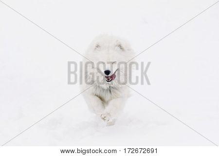 Funny beautiful Samoyed running on the white snow