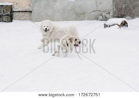 Funny dog breed Labrador and Samoyed frolic in the snow. Winter