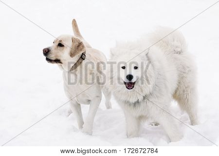 Two beautiful dogs, Samoyed and Labrador on snow cover. White Background, Winter