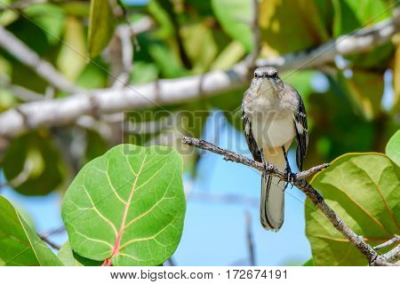 Northern mockingbird or mimus polyglottos on branch of a tree in Dominican Republic