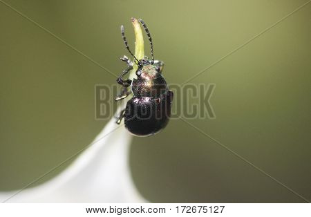 a shiny black fully armored tiny beetle