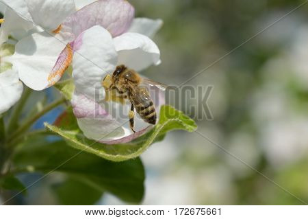 Honeybee collecting nectar and pollen on the apple-tree flower