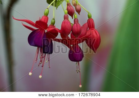 close up of pink and purple fuchsia flower blossoms selective focus blurred background