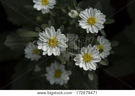 close up of dahlia spring flower white blossom surrounded by white flowers and deep green leaves selective focus blurred flowers on background