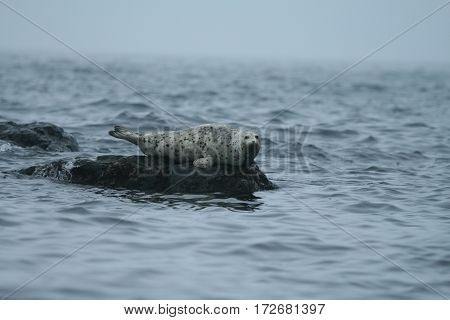 Phoca Largha (larga Seal, Spotted Seal) Surface Pictures