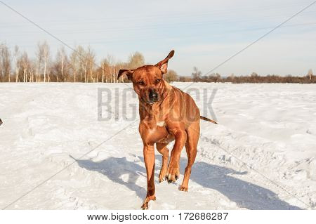 Rhodesian Ridgbac. Dog runing on the snow
