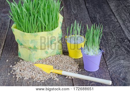 Seedling grass, grain and tools to take care of them. Selective focus, gray wood background.