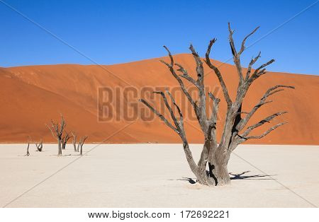 The scenic Sossusvlei and Deadvlei. Large clay and salt pan with braided Acacia trees surrounded by majestic sand dunes.