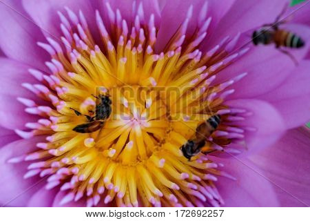Close-up flower. A beautiful purple waterlily or lotus flower