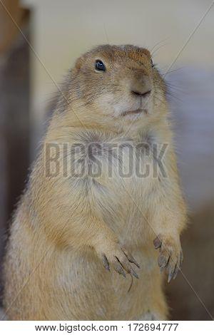 Ground Squirrel (Spermophilus citellus) eats the grass looking around the neighborhood.