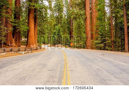 Sequoia National Park Road through the redwoods. California, United States.