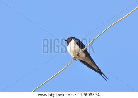 Swallow sitting on wires against the blue sky