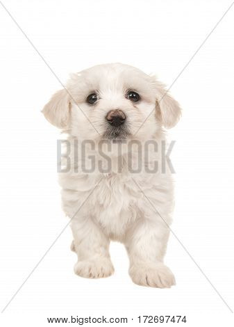 Cute white standing maltese puppy isolated on a white background