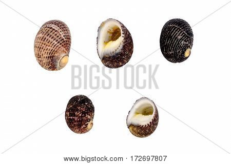 Set of clam mollusc isolated on white background white clipping path.
