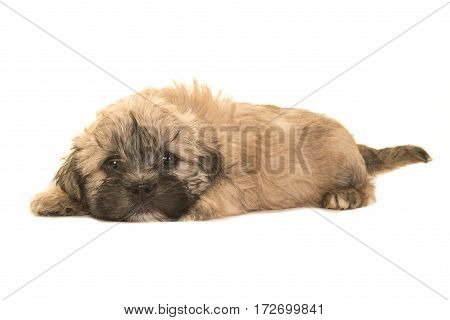 Cute brown boomer puppy lying on the floor facing the camera with its head on the floor isolated on a white background