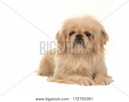 Blond adult tibetan spaniel dog lying on the floor with head up facing the camera isolated on a white background