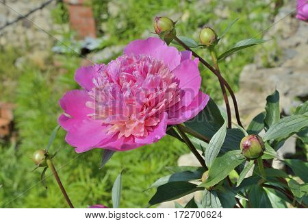 A close up of the pink flower peony.