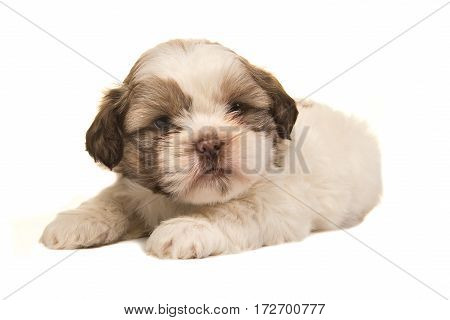 Brown and white boomer puppy dog lying on a white background