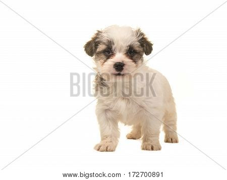Brown and white standing boomer puppy facing the camera isolated on a white background