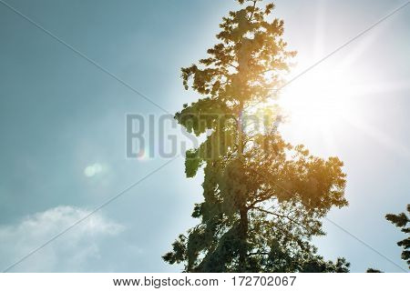 fir tree forest under white snow sunny day and blue sky frozen nature in the mountains