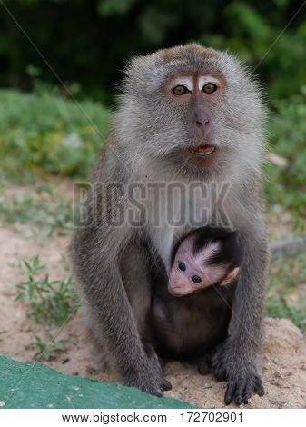 The mother monkey her baby in asia forest