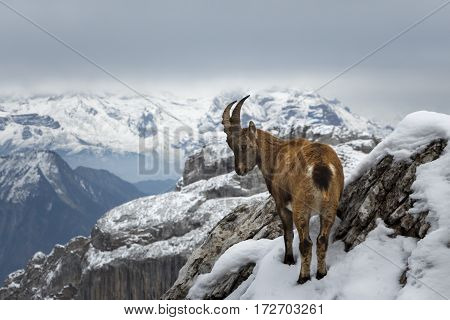 A wild mountain goat standing on the edge of a cliff, with snowy mountains in teh background