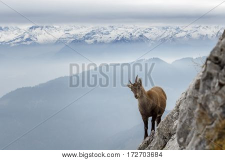 Shot of a wild mountain goat, with a wintery mountainscape in the background