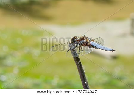 Broad-bodied Chaser dragonfly is ready for fly from its alternate airfield.