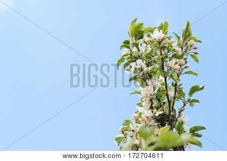 Blossom pear branch in a spring. pear Tree