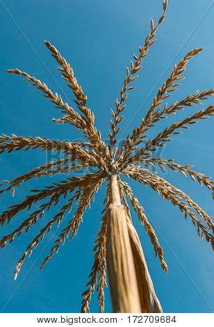 Yellow ears of corn with grains on the background of blue sky. Inflorescence at corn plantation, the rural background