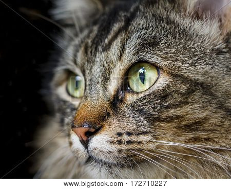 Close up image of a cat, with focus on the eye