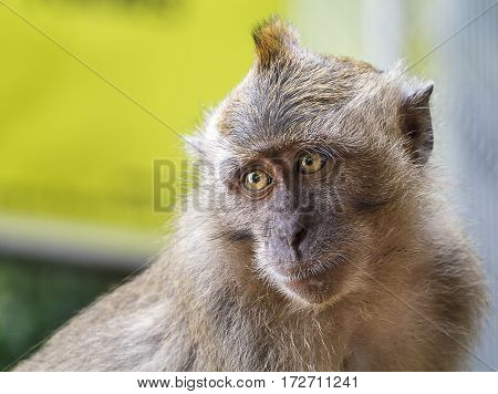 Macaque monkey looking away from the camera