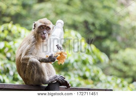 A monkey holding a plastic bottle and pancake, poking its tongue out at the camera