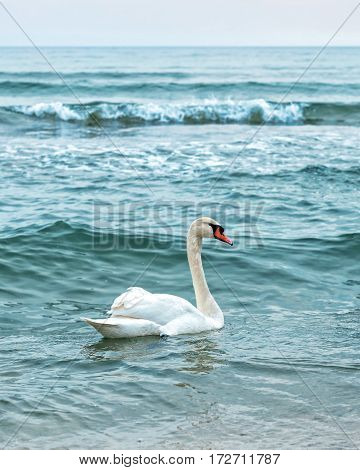 White young swan in the winter sea