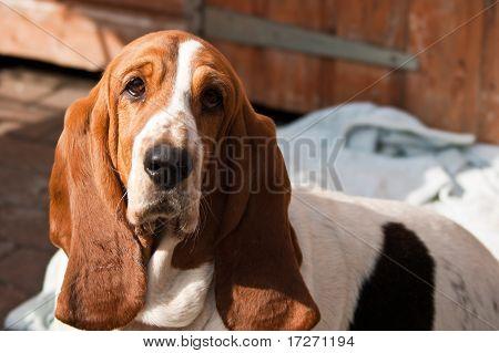 Cute Bassett Hound Dog