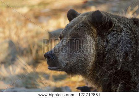 Close up head shot of a brown bear