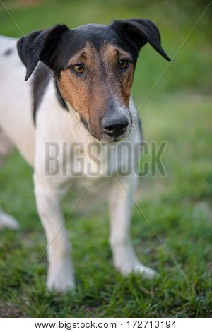 Dog playing outdoors, cute terrier dog in garden