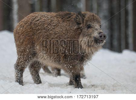 Wild boar walking through winter forest