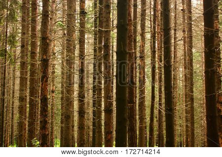 Spruce trees texture, background in spring colors