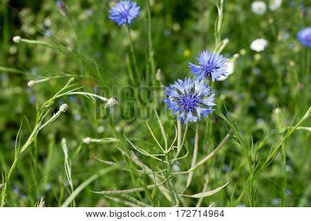 Cornflower (Cyanus segetum Hill, Syn .: Centaurea cyanus L.) in a field