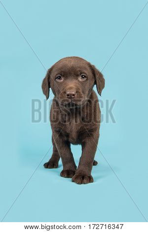 Standing brown chocolate labrador retriever puppy walking towards the camera on a soft blue background
