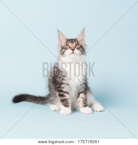 Maine coon kitten sitting in studio on blue background