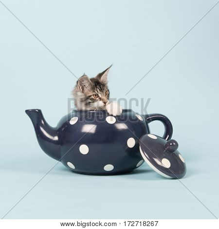 Little funny maine coon kitten in big blue tea pot