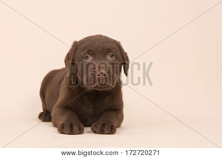 Chocolate brown labrador retriever puppy lying on the floor on a beige background