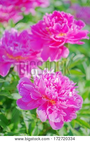 Several beautiful pink peonies on the flowerbed outdoors