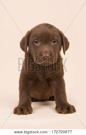 Chocolate brown labrador retriever puppy sitting on a beige background