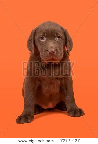 Chocolate brown labrador retriever puppy sitting on a orange background