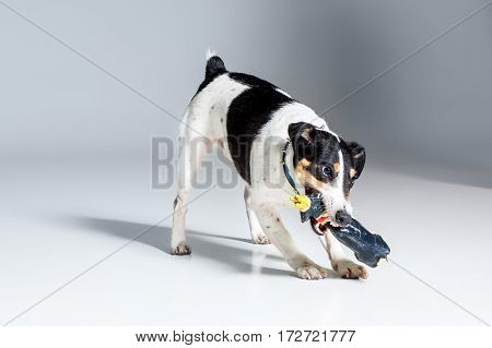 Fox terrier posing in studio on grey background. Terrier in a blue collar with a toy
