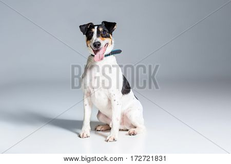 Fox terrier posing in studio on grey background. Terrier in a blue collar