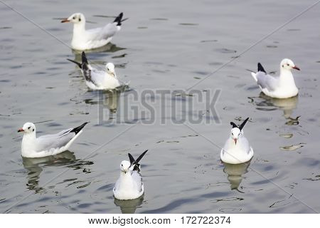 seagull floating on water for background .